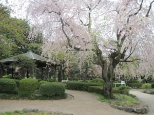 枝垂桜と東屋