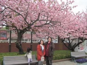 馬事公苑の八重桜